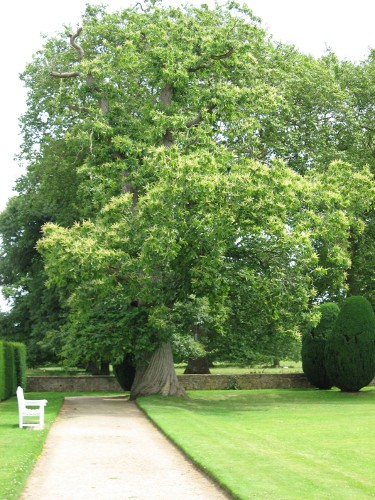 Sweet Chestnut at Montacute House, Somerset