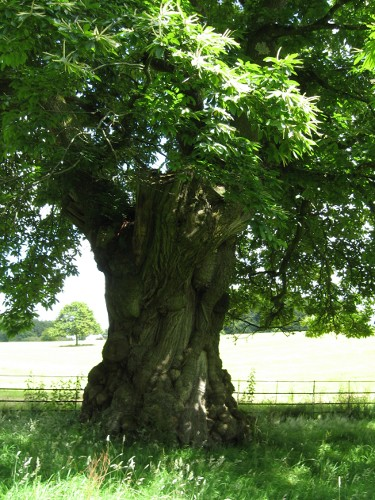 Sweet Chestnut tree, Stourhead, Wiltshire